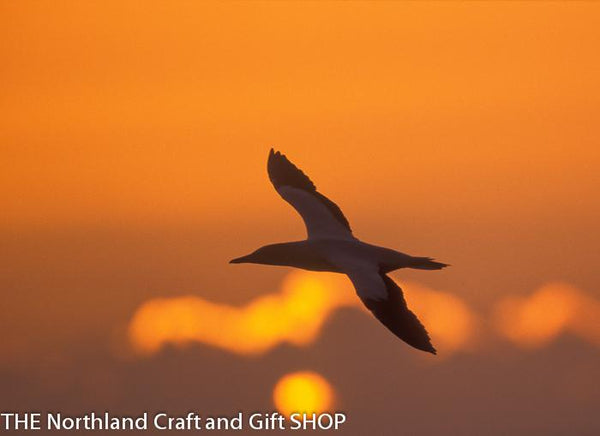 Photo Gannet Sunset