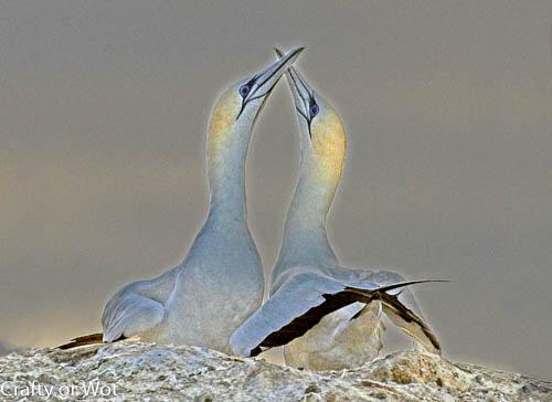 Photo Gannet Bonding