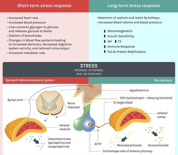 stress response infographic from youhealth