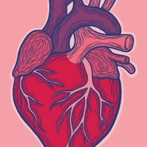 detailed heart including aorta arteries and blood vessels