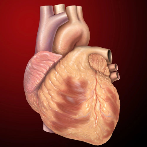 heart including aorta arteries and blood vessels