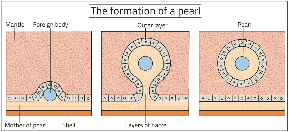 How a pearl is formed