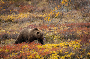 Autumn Grizzly by Dan Twitchell