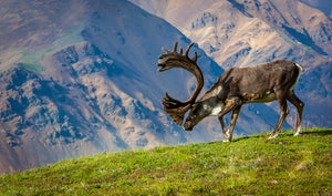 Caribou Bull by Dan Twitchell