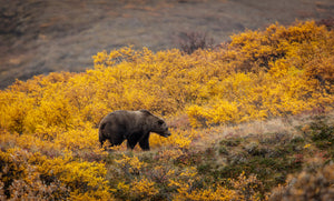 Denali Grizzly in Autumn by Dan Twitchell