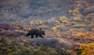 Fall Grizzly in Denali by Dan Twitchell