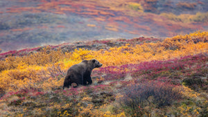 Grizzly in Tundra Colors by Dan Twitchell