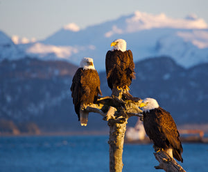Homer Eagles by Dan Twitchell