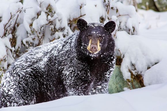 Snow Bear by Ed Boudreau