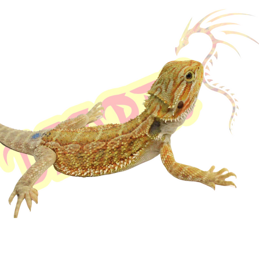 Male Bearded Dragon #1