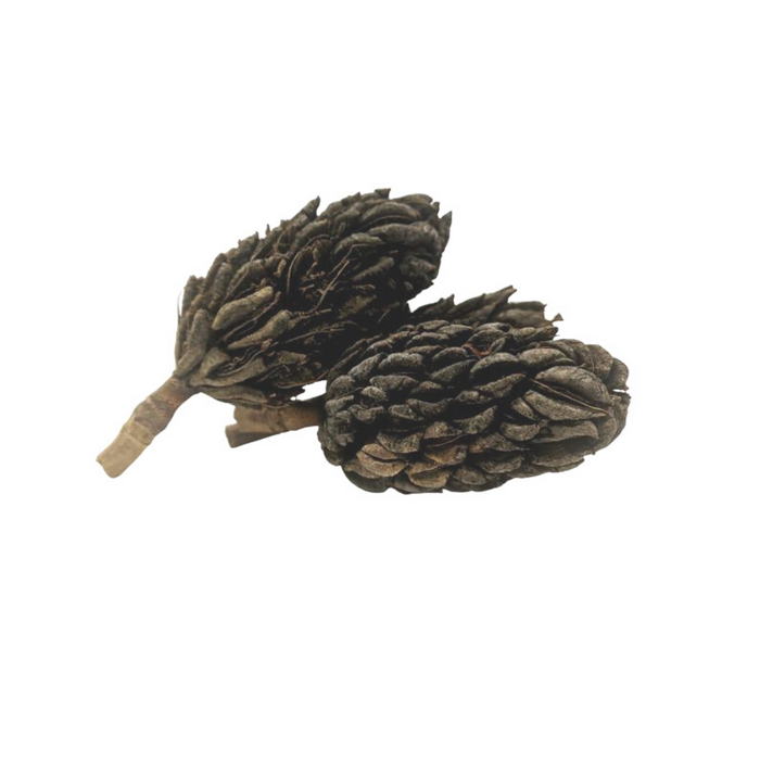 Large Magnolia Seed Pods (5+ Inches)