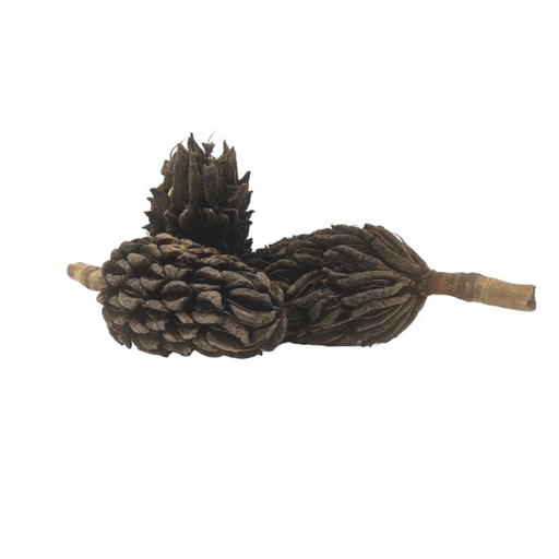 Large Magnolia Seed Pods (5+ Inches) (3 Pack)