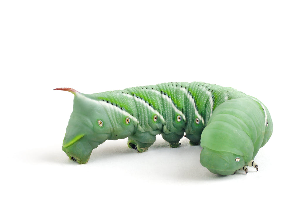 Live Hornworms