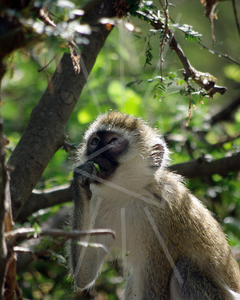 Tsavo West Vervet Monkey