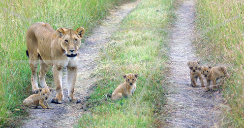 Masai Mara Lioness and Cubs