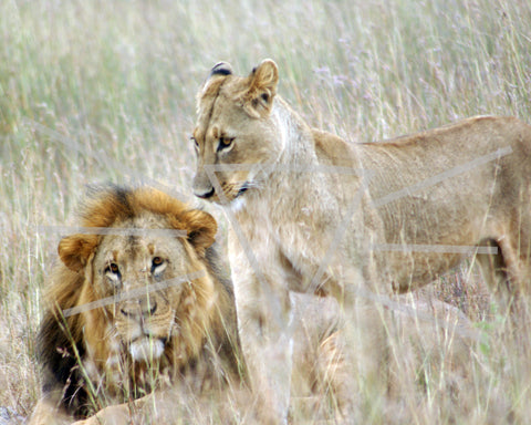 Lions on Honeymoon