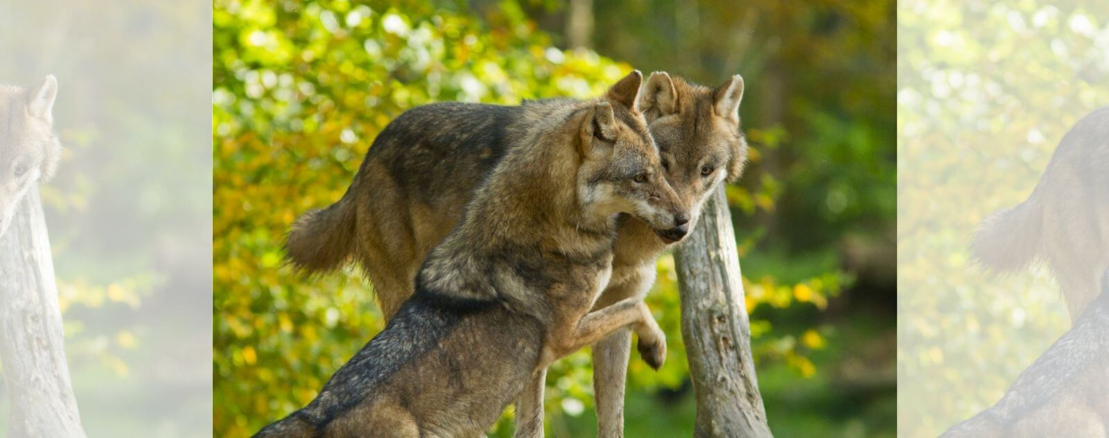 Couple de Loup Alpha