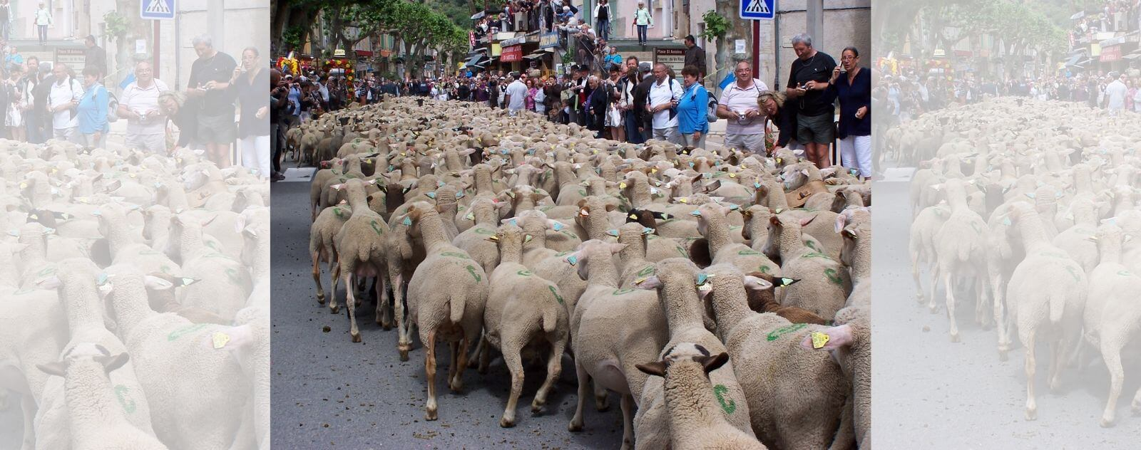 Transhumance, Transport de Moutons