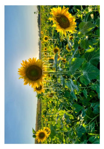 Field Of Sunflowers | Blank Photo Card