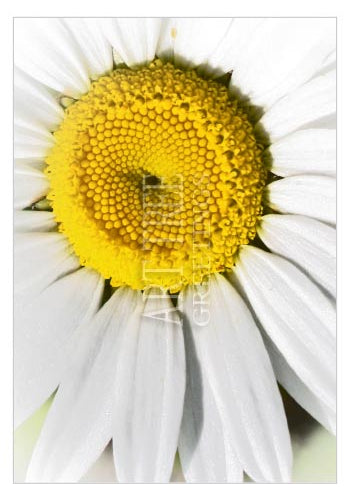 White Daisy | Blank Photo Greeting Card