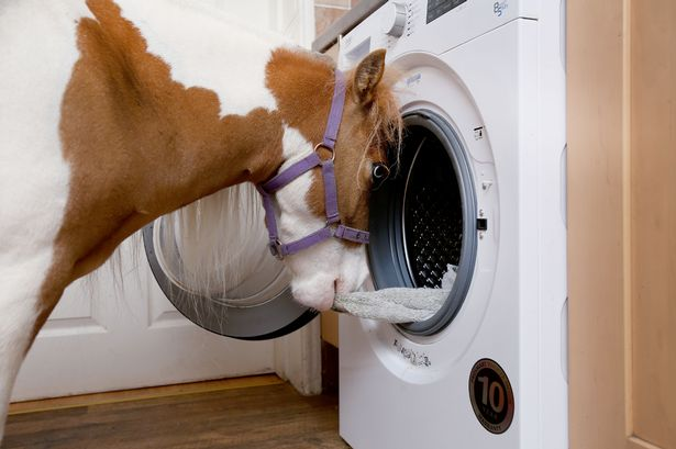 pony doing laundry