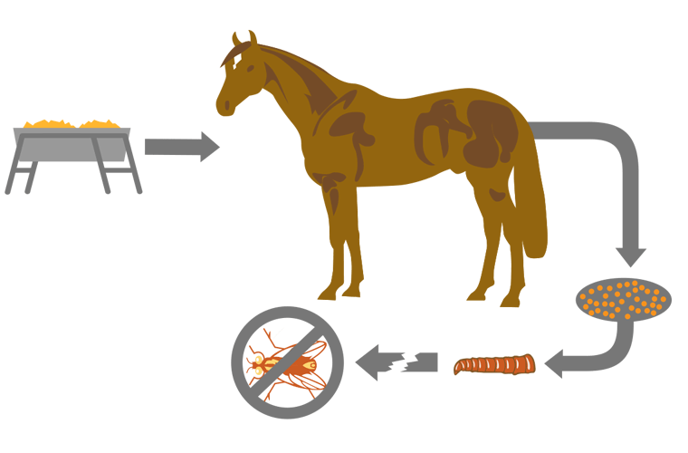 Fly cycle through horses digestive system