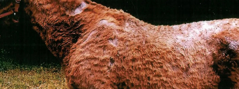 Horse with rain rot