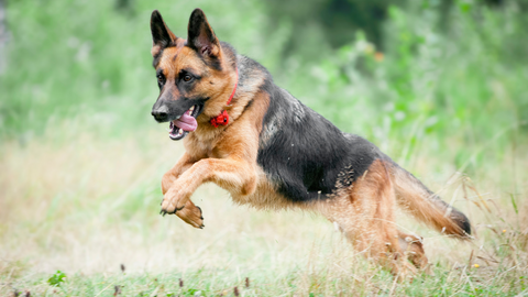 German Shepherds often struggle with hip and joint problems. Heres a list of the top 5 supplements that helps improve hip and joint issues.