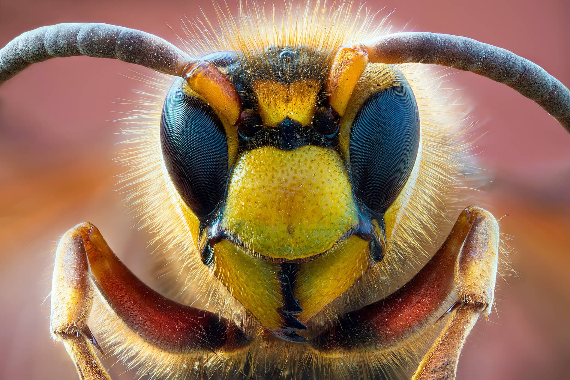 What is Macro Photography - Closeup of Hornet