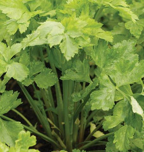 West Coast - Summer Kintsai Celery Seeds