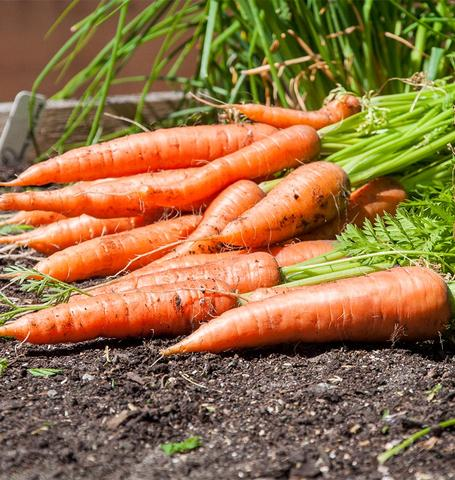 West Coast - Canada Carrot Seeds