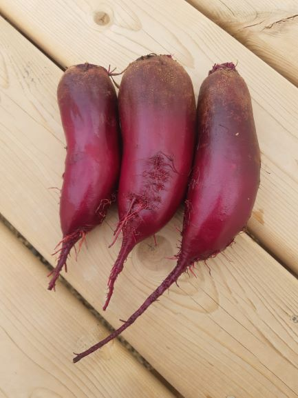 Organic Cylindra Red Beets