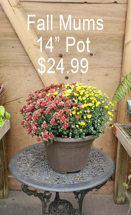 Potted Fall Mums