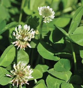 West Coast - White Dutch Clover