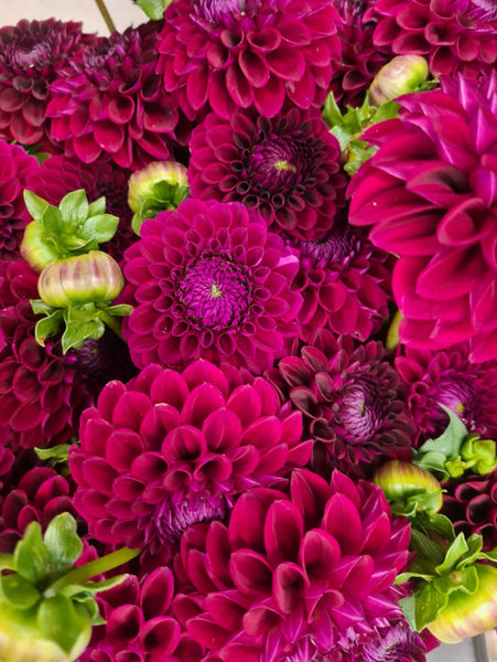 Flower Spotlight: Dahlias