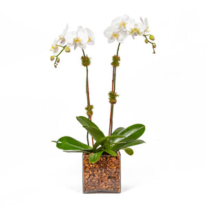 Plant - Double White Orchid. Two white phaelenopsis orchids in a glass vase with orchid bark.