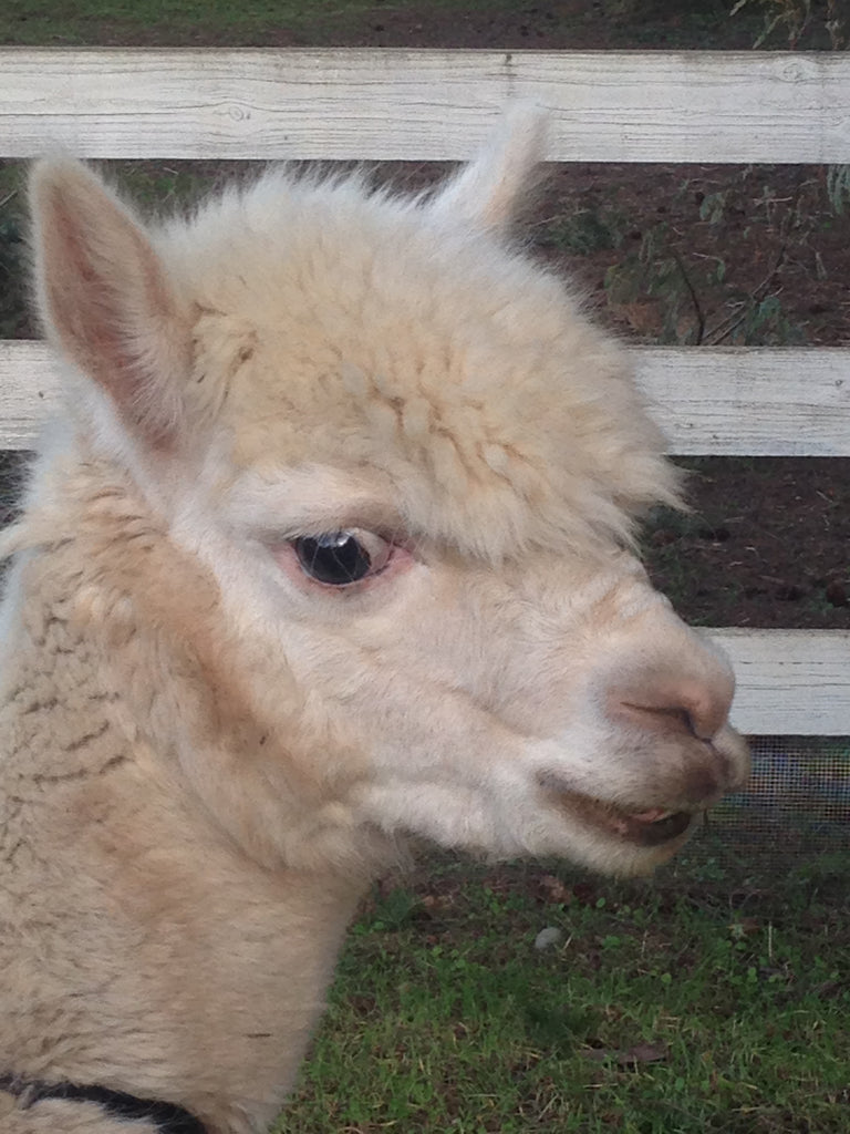 local white alpaca named storm