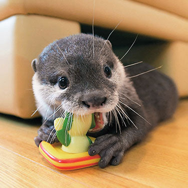 comment adopter une loutre