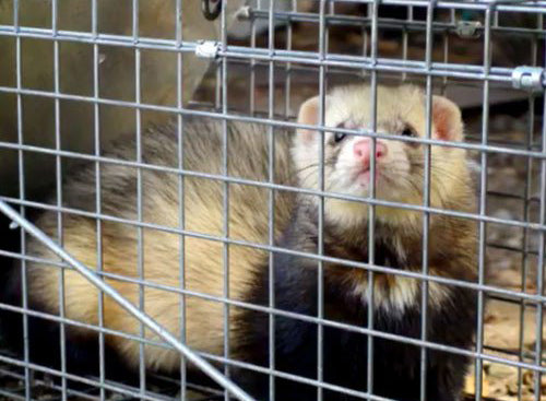 Trapping Stoats & Ferrets