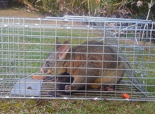 Possum Trapping Tips