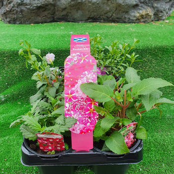 10.5cm Pink Shades Basket Carry Pack - DeWaldens Garden Centre