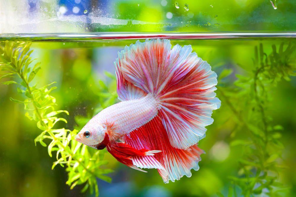 Care Guide for Betta Fish – The Best Beginner Pet Fish