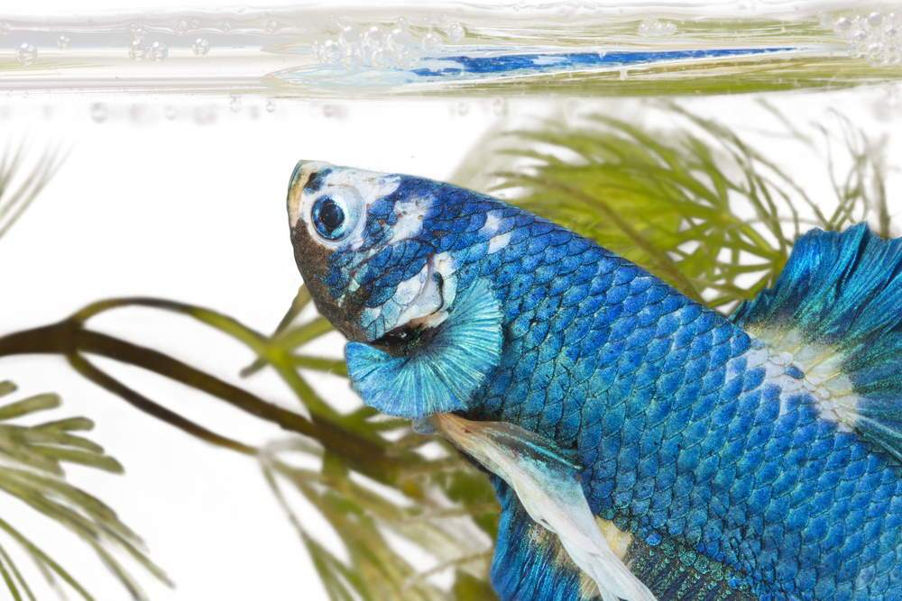 How to Set up a Beautiful Betta Fish Tank