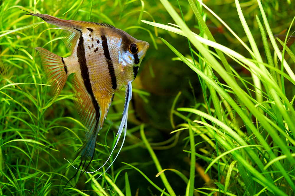 Care Guide For Freshwater Angelfish The Feisty Angel Of The Aquarium Aquarium Co Op