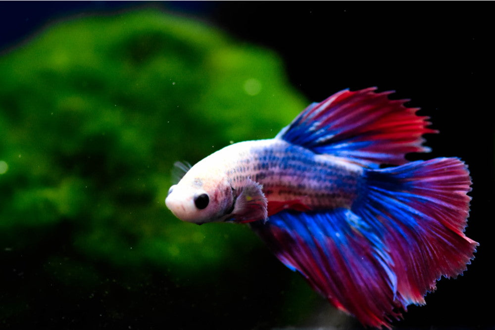 Top 10 Betta Fish Plants for Your Aquarium