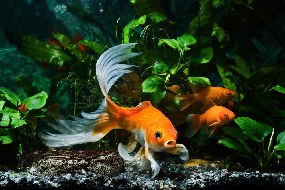 5 Easy Plants for Goldfish Aquariums