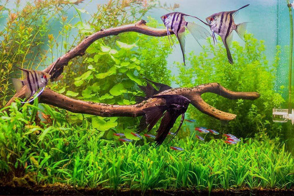Top 5 Centerpiece Fish For Your Small To Medium Sized Community Tank Aquarium Co Op