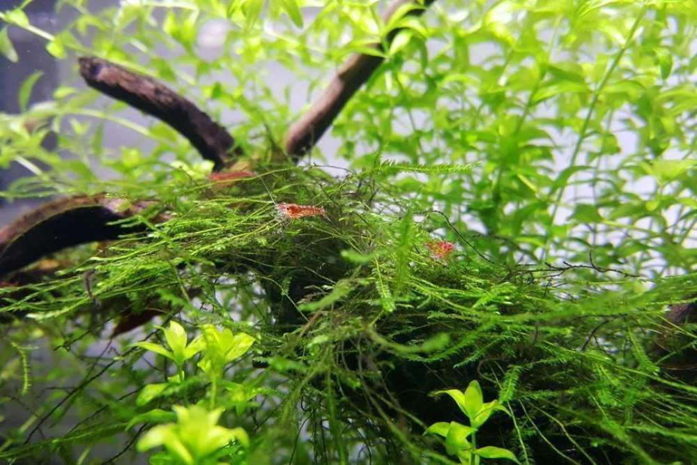 Java Moss - Easy Low-Light Plant for Beginners
