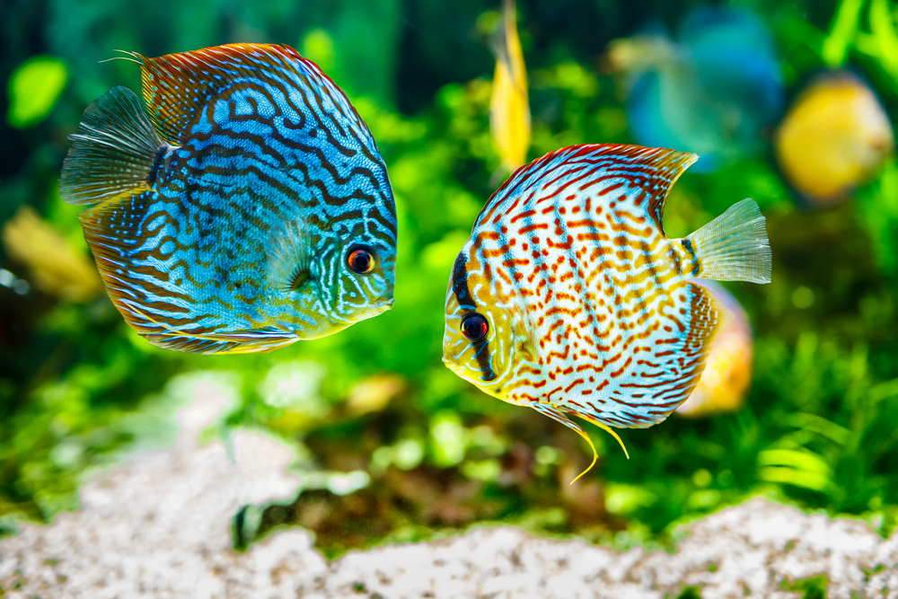 Care Guide for Discus Fish – The King of the Aquarium