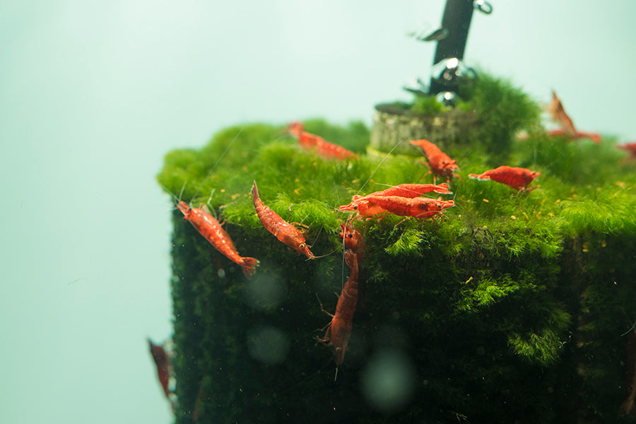 Aquarium Coop Cherry Shrimp